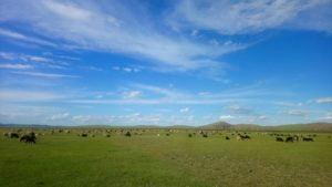 Schafe herden