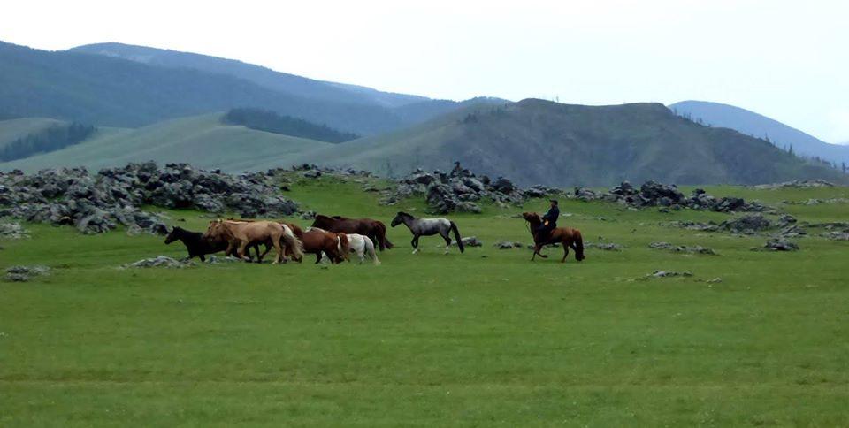 Mongolische Pferde