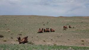 Kamele im Süden der Gobi