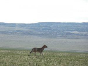 Khulan in Gobi