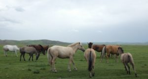 Pferde im Khangai