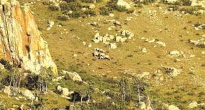Wildpferde in der Mongolei